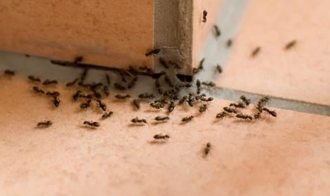 mieren verdelgen Doetinchem